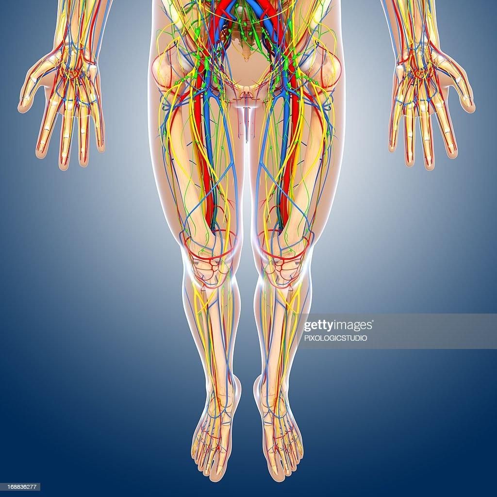 Lower Body Anatomy Artwork Stock Illustration | Getty Images