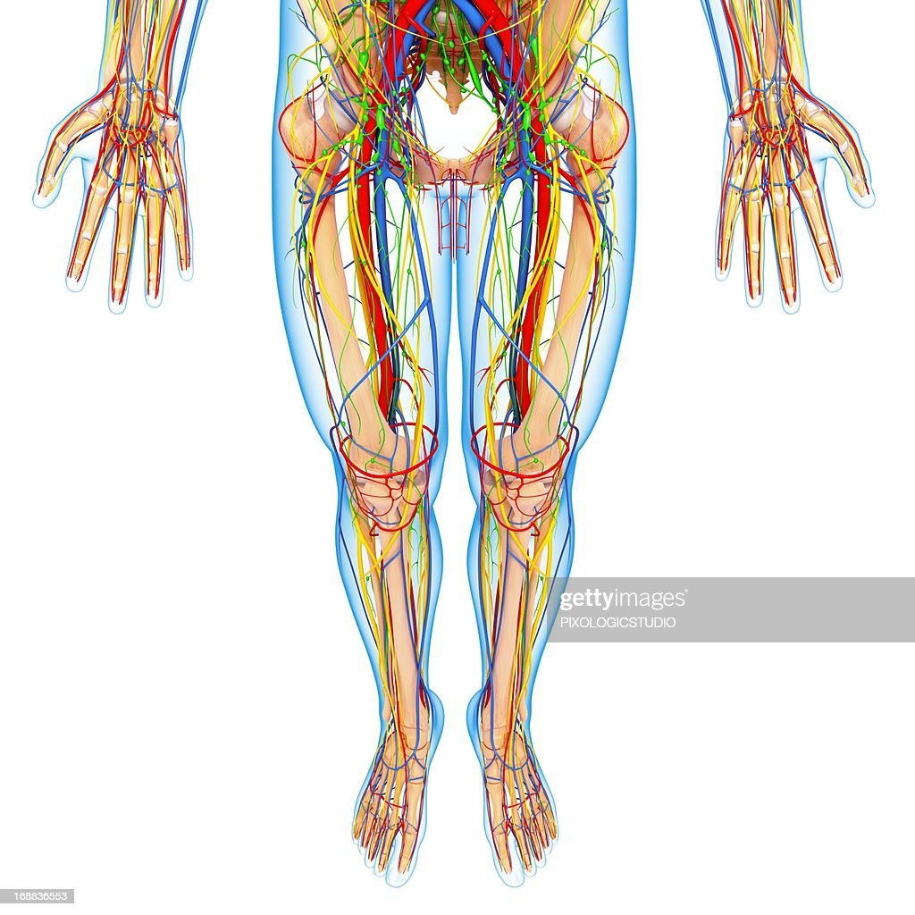 Lower Body Anatomy Artwork Stock Illustration | Getty Images