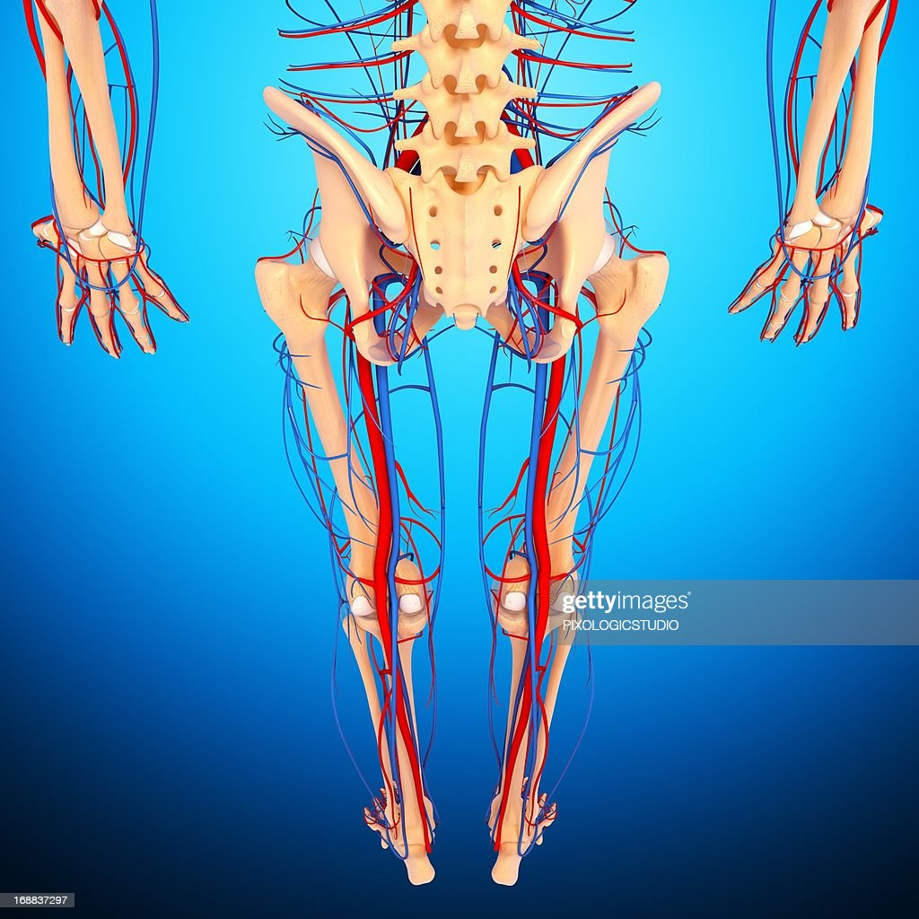 Lower Body Anatomy Artwork Stock Illustration Getty Images