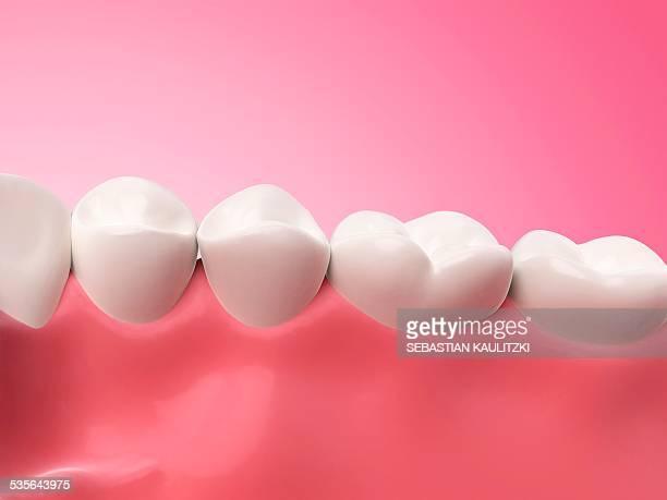ilustraciones, imágenes clip art, dibujos animados e iconos de stock de lower human teeth, illustration - modelos del cuerpo humano