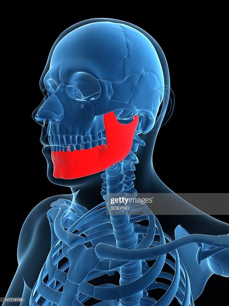 Lower Jaw Bone Artwork Stock Illustration Getty Images