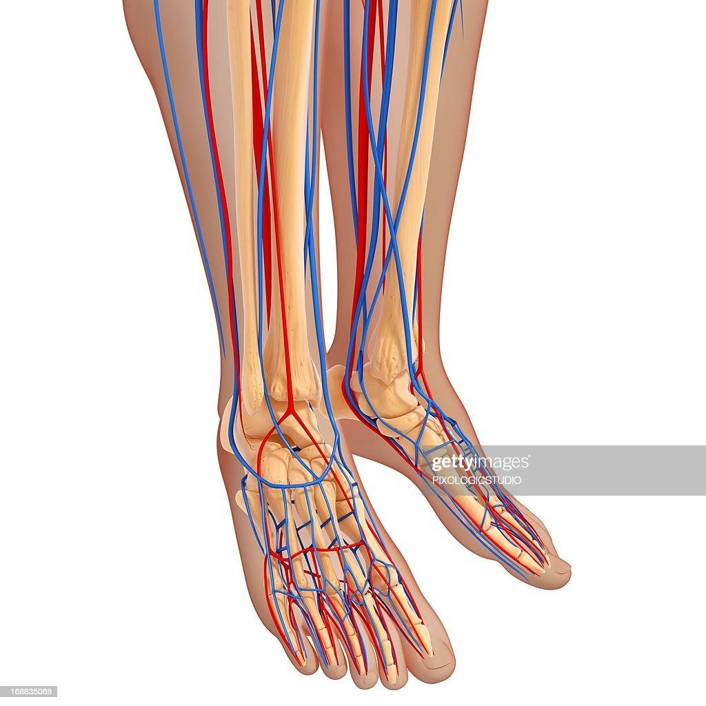 Lower Leg Anatomy Artwork Stock Illustration Getty Images