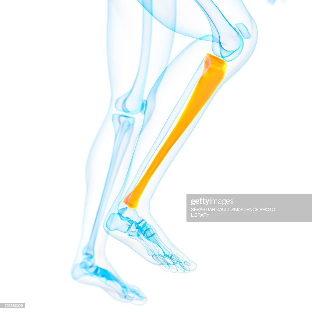 Lower Leg Bone Illustration Stock Illustration Getty Images