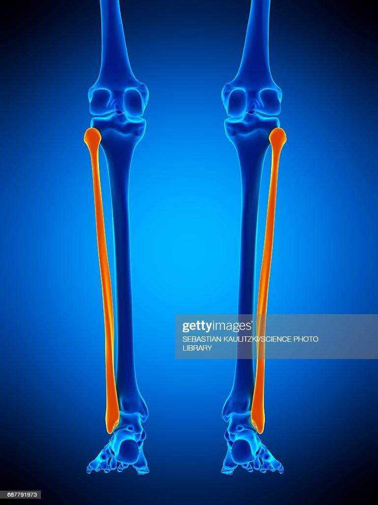 Lower Leg Bones Illustration Stock Illustration Getty Images