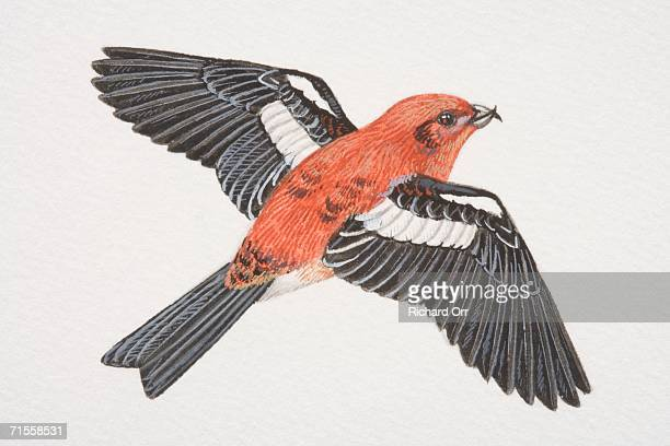 Loxia curvirostr, Red Crossbill in flight, side view.