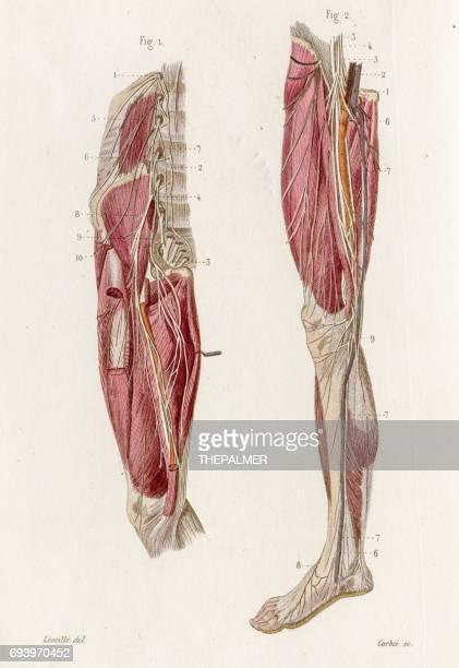 ilustraciones, imágenes clip art, dibujos animados e iconos de stock de anatomía del plexo lumbar grabado de 1886 - hueso de la pierna