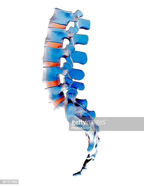 lumbar spine and sacrum, computer artwork - human vertebra stock illustrations, clip art, cartoons, & icons