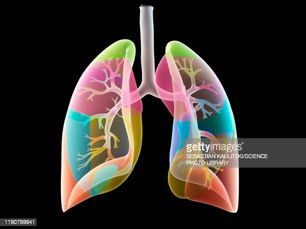 lung anatomy, illustration - human digestive system stock illustrations