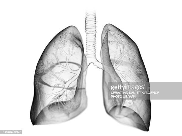 lung, illustration - anatomy stock illustrations