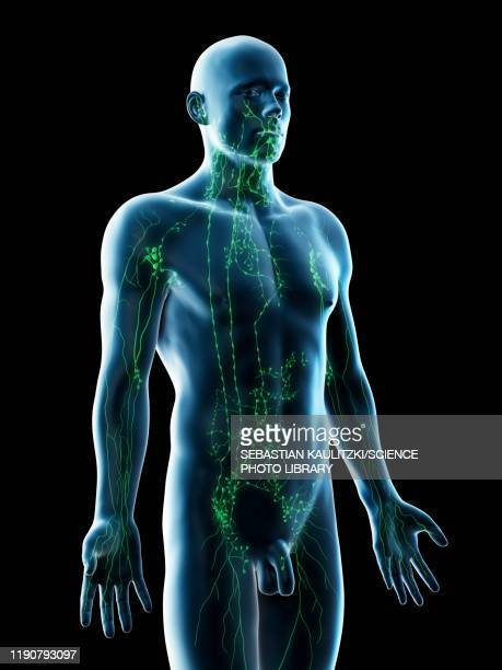 lymphatic system, illustration - immune system stock illustrations