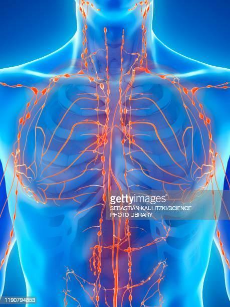 ilustrações, clipart, desenhos animados e ícones de lymphatic system, illustration - immune system