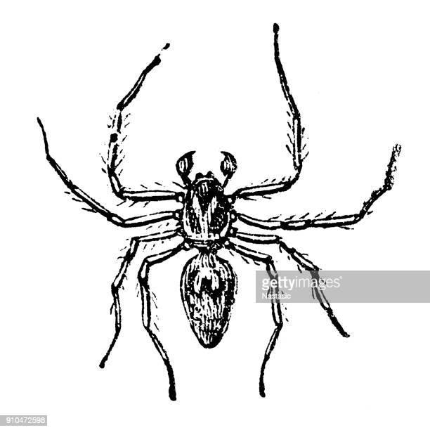 Lynx Spider (Oxyopes ramosus)
