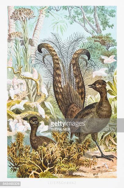 Lyrebird illustration 1882