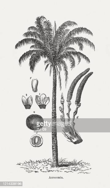 macaúba palm (acrocomia aculeata), wood engraving, published in 1893 - imagem a cores stock illustrations