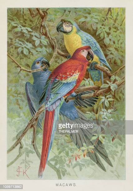 macaws chromolithograph 1896 - lithograph stock illustrations