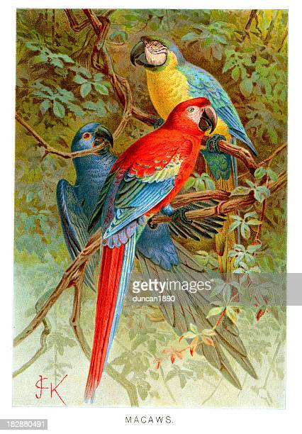 macaws - macaw stock illustrations