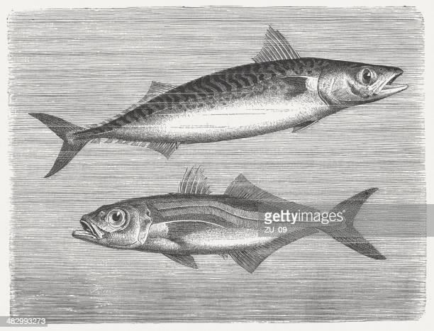 mackerels - trachurus stock illustrations