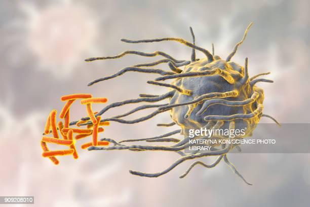 ilustrações, clipart, desenhos animados e ícones de macrophage engulfing tuberculosis bacteria - immune system