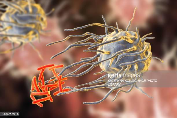 macrophage engulfing tuberculosis bacteria - immune system stock illustrations