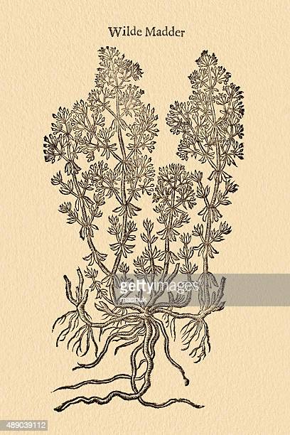 Madder plant, 17 century botanical illustration