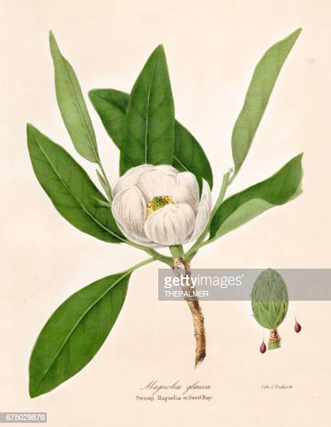 magnolia plant botanical engraving 1843 - lithograph stock illustrations
