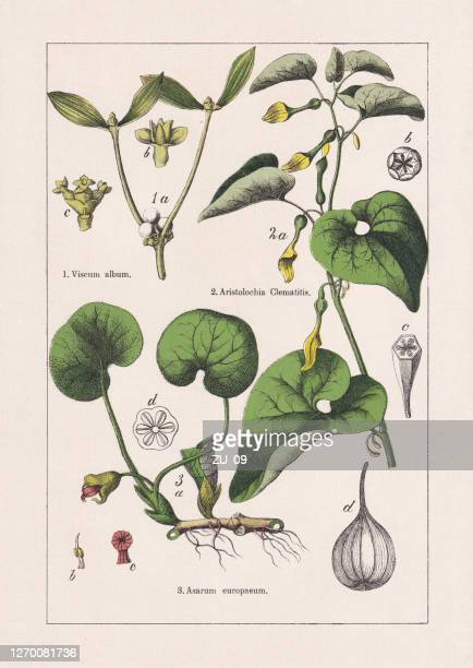 magnoliids, aristolochiaceae, chromolithograph, published in 1895 - chromolithograph stock illustrations
