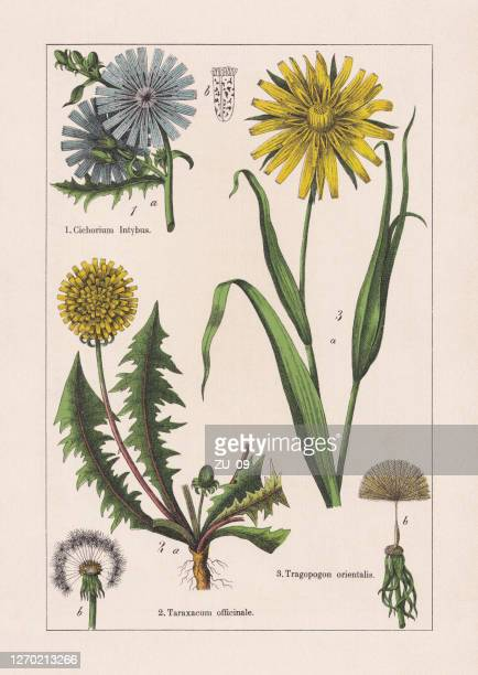 ilustrações, clipart, desenhos animados e ícones de magnoliids, asteraceae, cromatógrafo, publicado em 1895 - endive