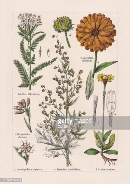 マグノリイド、アステラセア、クロモリトグラフ、1895年に出版 - アルニカ点のイラスト素材/クリップアート素材/マンガ素材/アイコン素材