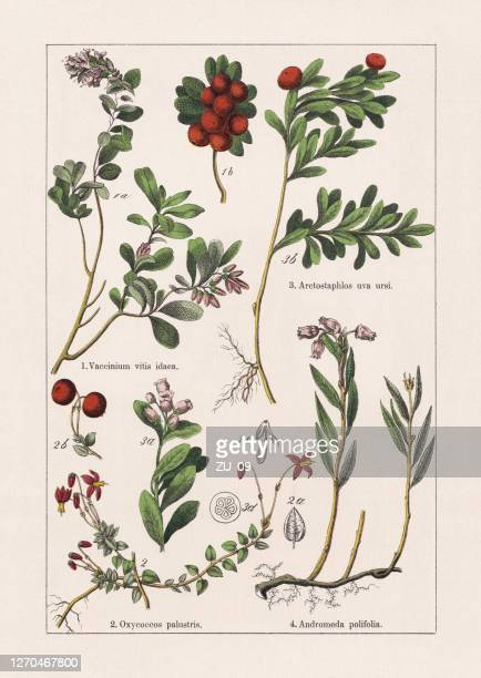 magnoliids, asterids, chromolithograph, published in 1895 - chromolithograph stock illustrations