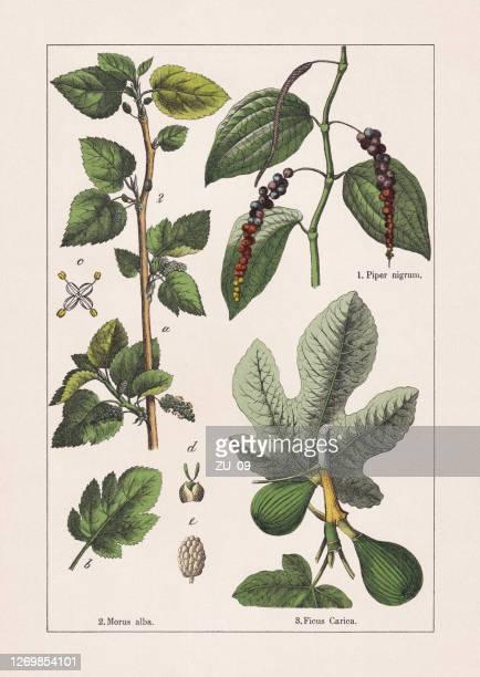 ilustrações de stock, clip art, desenhos animados e ícones de magnoliids: black pepper, mulberry and fig, chromolithograph, published in 1895 - castanho