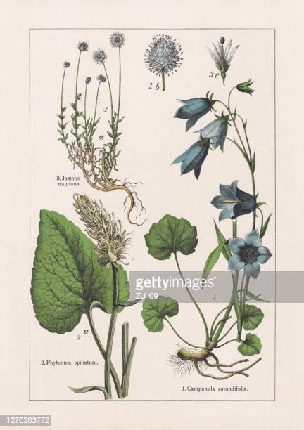 stockillustraties, clipart, cartoons en iconen met magnoliids, campanulaceae, chromolithograaf, gepubliceerd in 1895 - bedektzadigen