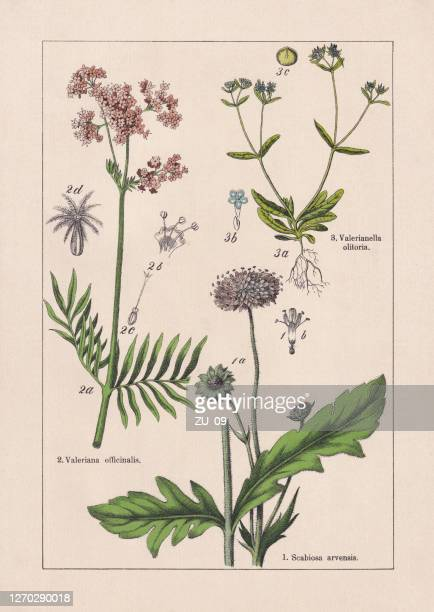 magnoliids, caprifoliaceae, chromolithograph, published in 1895 - valerian plant stock illustrations
