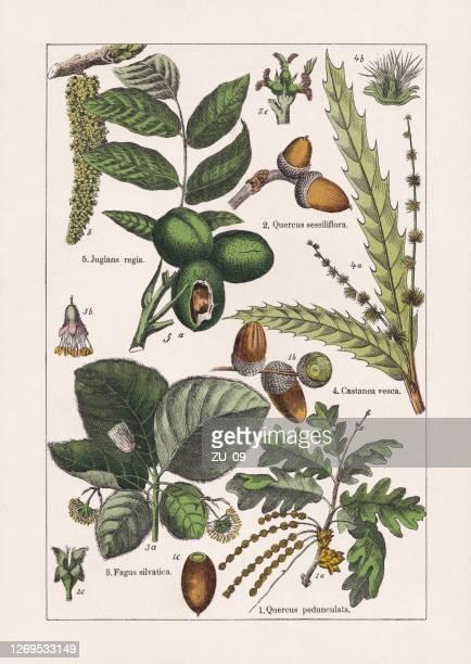 1895年に出版されたマグノリイド、クロモリトグラフ - オークの葉点のイラスト素材/クリップアート素材/マンガ素材/アイコン素材