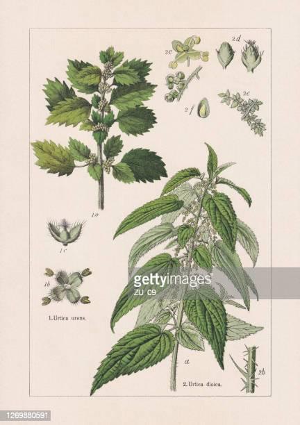 1895年に出版されたマグノリイド、クロモリトグラフ - イラクサ点のイラスト素材/クリップアート素材/マンガ素材/アイコン素材