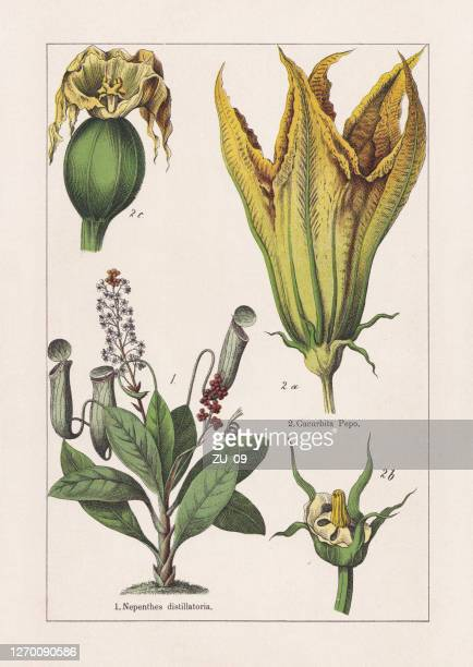 magnoliids, chromolithograph, published in 1895 - chromolithograph stock illustrations