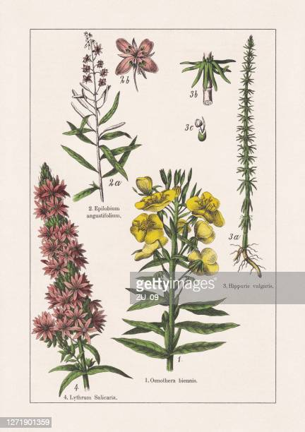 magnoliids, onagraceae, lythraceae, chromolithograph, published in 1895 - chromolithograph stock illustrations