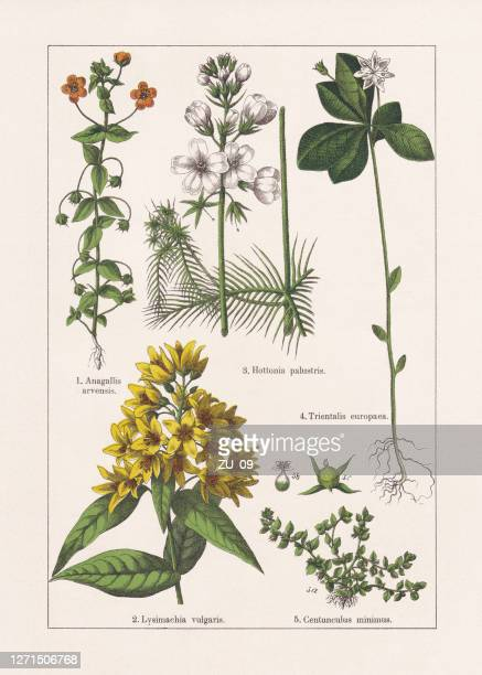 ilustrações, clipart, desenhos animados e ícones de magnoliids, primulaceae, cromatógrafo, publicado em 1895 - chickweed