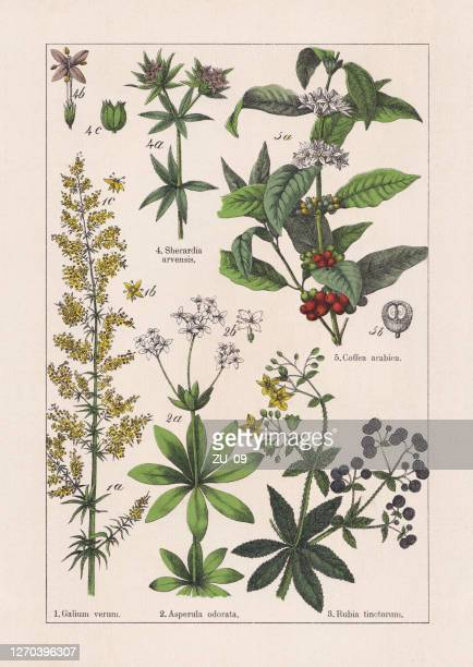 magnoliids, rubiaceae, chromolithograph, published in 1895 - chromolithograph stock illustrations