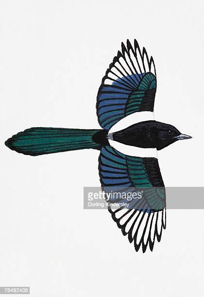 magpie (pica pica), adult - magpie stock illustrations