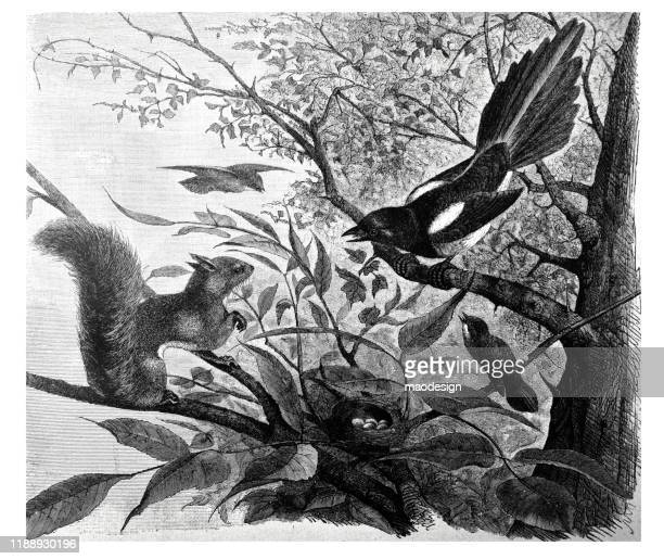 magpie and the squirrel are gonna snap eggs in a nest - magpie stock illustrations