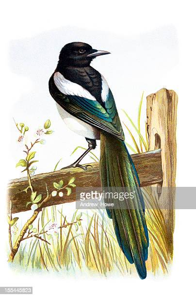 magpie chromolithograph - magpie stock illustrations