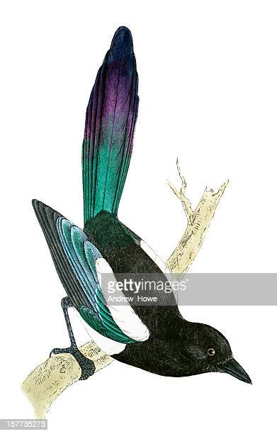 magpie - hand coloured engraving - magpie stock illustrations