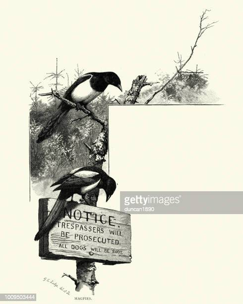 magpies sat on a trespassers will be prosecuted sign - magpie stock illustrations