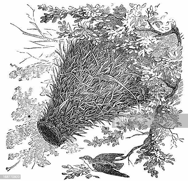ilustrações, clipart, desenhos animados e ícones de ploceus mahali (ninho mahali - zoologia