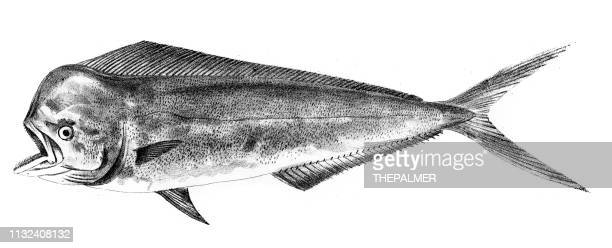 mahi dolphin fish engraving 1842 - dolphin fish stock illustrations