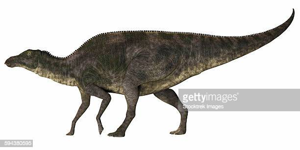 Maiasaura was a duck-billed herbivorous dinosaur that lived in Montana, USA in the Cretaceous Era.