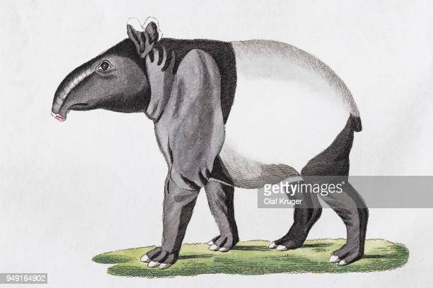 Maiba (Tapirus indicus), hand-coloured copperplate engraving from Friedrich Justin Bertuch Picture book for children, Weimar, 1816