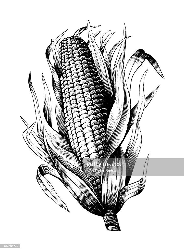 Maize : stock illustration