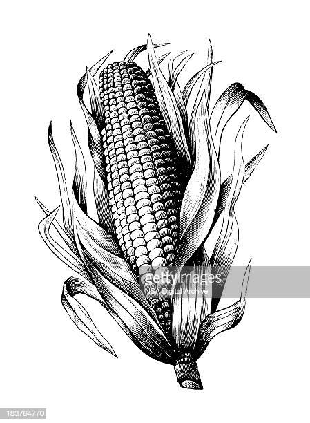 maize - illustration technique stock illustrations