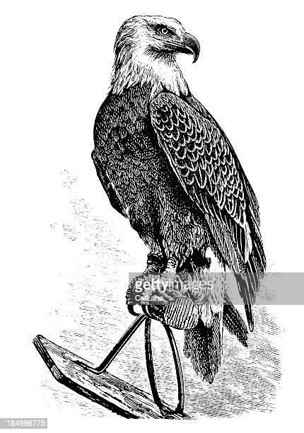 majestic eagle - victorian engraving - falcon bird stock illustrations, clip art, cartoons, & icons